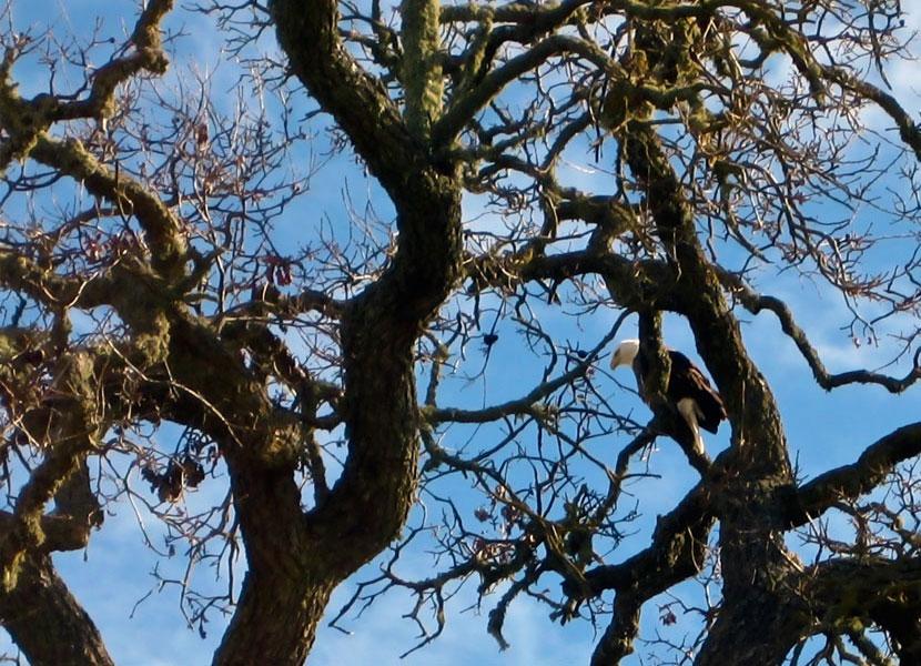 Bald Eagle in a Creston Oak Tree- 830x600 - Photo by Tracey Adams - bikracer on flickr