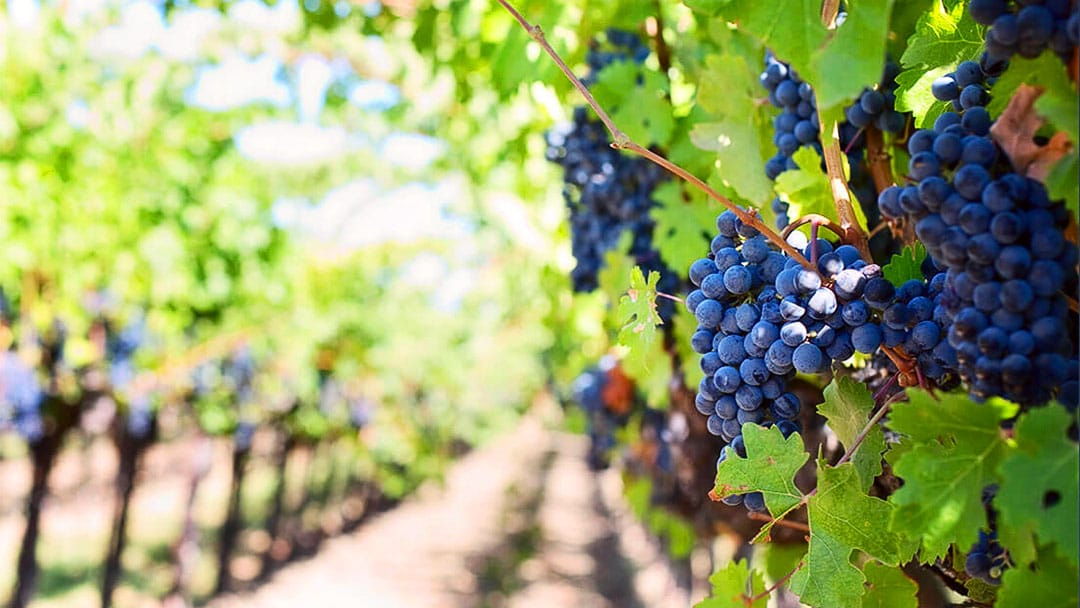 Vineyard with Hanging Purple Grapes